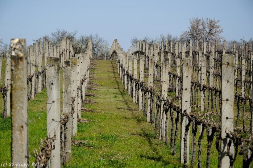 Vignoble de Monor.