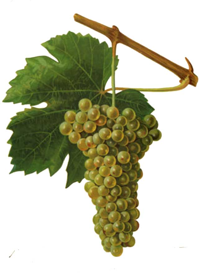 Tressallier Grapes